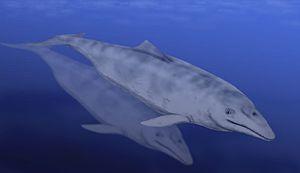 Aetiocetus - Aetiocetus cotylalveus