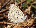 African Babul Blue Azanus jesous Pench TR by Dr. Raju Kasambe (4).jpg