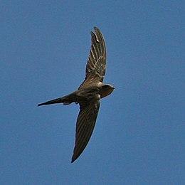 African Palm Swift in flight