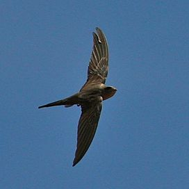 African Palm Swift in flight.jpg