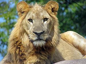 Seneca Park Zoo - African lion, Seneca Park Zoo, Rochester, NY