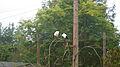 African sacred ibis (Threskiornis aethiopicus) (1).jpg