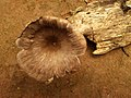 Agaricales sensu lato-1.jpg