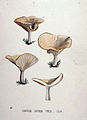 Agaricus catinus — Flora Batava — Volume v19.jpg