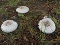 Agaricus xanthodermus ts1.jpg