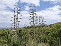Agave - Fuerteventura - Canary Islands - Spain - 02.jpg