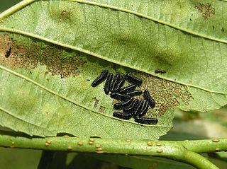Váhavec jelšový - larvy