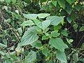 Ageratina adenophora-yercaud-salem-India.JPG