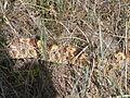 Agropyron dasystachyum and bull snake (4010793798).jpg