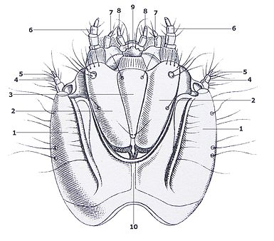 Agrypnus murinus larva head under Reitter with numbering.jpg