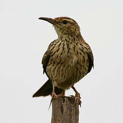 Agulhas Long-billed Lark (Certhilauda brevirostris) perched.jpg