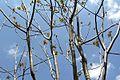 Ailanthus altissima pm01.jpg