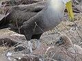 Albatross birds - Espanola - Hood - Galapagos Islands - Ecuador (4871116451).jpg