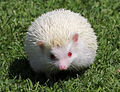 Albino Hedgehog.jpg