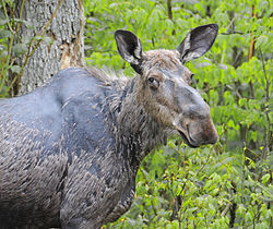 meaning of moose