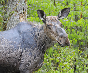 English: This is a female moose browsing and t...