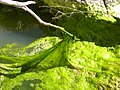 Algae in snowfed creek on Bennett Mountain, Idaho.jpg