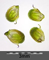 Alisma lanceolatum sl15.jpg