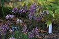 Allium Taquetii var. Taquetii GotBot 2015 001.jpg