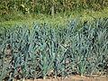 Allium ampeloprasum Lauch Kurpfalzhof 2011.JPG