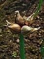 Allium cepa viviparum 003.JPG