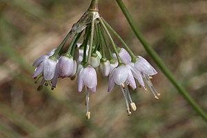Allium cernuum - Image: Allium cernuum 2848