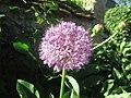 Allium giganteum France.jpg