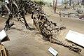 Allosaurus Camptosaurus Royal Tyrrell.jpg