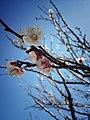 Almond Flowers87.jpg