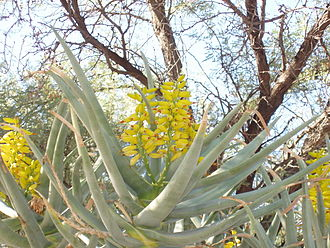 Aloidendron dichotomum - Image: Aloe dichotoma in Phoenix