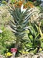 Aloe pillansii - Val Rahmeh - DSC04431.JPG