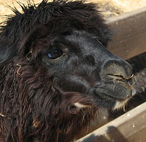 English: An Alpaca (Vicugna pacos) in the Alpa...