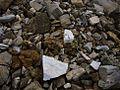 Alperschällilücke Bodenbedeckung.jpg