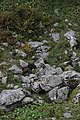 Alpine marmot - Marmota marmota - panoramio (4).jpg