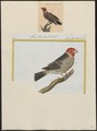 Amadina erythrocephala - 1700-1880 - Print - Iconographia Zoologica - Special Collections University of Amsterdam - UBA01 IZ15900161.tif