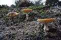 Amanita muscaria (2) (30146629884).jpg