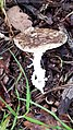 Amanita pantherina 132920949.jpg