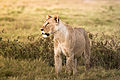 Amboseli Lion (Kenya, Day 2).jpg