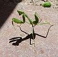 Ameles spalanziana - Flickr - gailhampshire (2).jpg