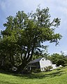 American Beech tree, June 9, 2012 - panoramio.jpg
