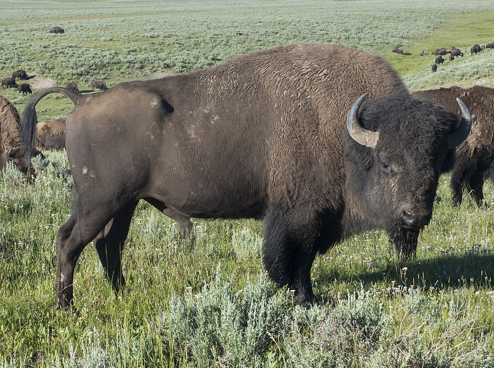 American Bison (Yellowstone)