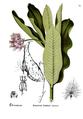 American Medicinal Plants-2-0743-134.png