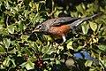 American Robin eating Holly berries (46382722591).jpg
