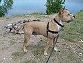 American Staffordshire Terrier Mumford.jpg