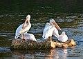 American white pelican on Seedsakdee National Wildlife Refuge (36908957571).jpg