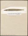 Ammodytes lanceolatus - 1817-1841 - Print - Iconographia Zoologica - Special Collections University of Amsterdam - UBA01 IZ14000143.tif