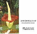 Amorphophallus .jpg