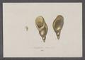 Amphibulina oblonga - - Print - Iconographia Zoologica - Special Collections University of Amsterdam - UBAINV0274 089 03 0009.tif