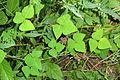 Amphicarpaea bracteata SCA-04708.jpg