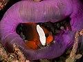 Amphiprion melanopus (Black anemonefish) in Heteractis magnifica (Magnificent anemone).jpg